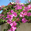 Bougainvillea Jigsaw game