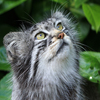 Pallas Cat Jigsaw game