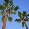 Play Jigsaw: Palm Trees game!