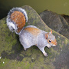 Jigsaw: Posing Squirrel game