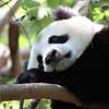 Play Panda Jigsaw game!
