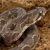 Play Venomous Snake Jigsaw game!