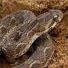 Venomous Snake Jigsaw